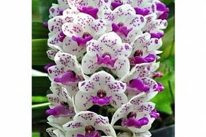 100 semen orchideje člunatce...
