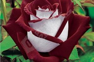 Semena vzácných odrůd růže...