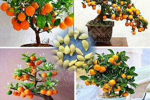Citrusové bonsaje - 40 ks semen...