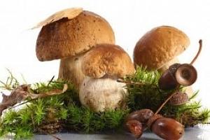 Pěstební mix 8 druhů lesních hub...