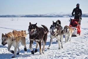 Mushing – jízda na saních se psím spřežením...
