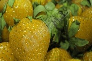 Semínka různobarevných jahod na balkon...