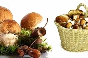 Pěstební mix osmi druhů lesních hub...