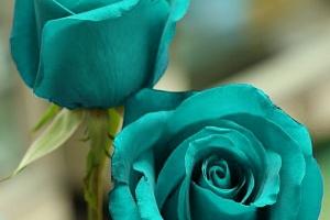 Semena unikátní modré růže - 200 ks...