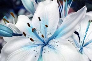 Semena modré lilie - 50 kusů...