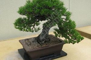 Semena japonské borovice ve stylu bonsai...