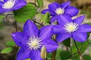 Semínka fialové liány - 100 kusů...