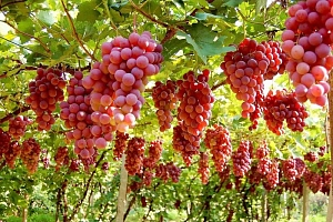 Červené hroznové víno - 30 semínek a poštovné ZDARMA!...