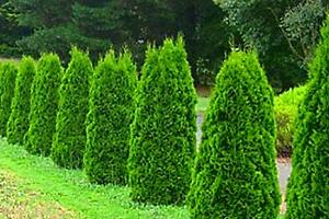 5 ks Thují Smaragd ze Zahradnictví ve Spytihněvi u Zlína...