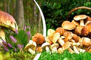 Vysaďte si na zahrádce své vlastní houby. 2 sady hub za jedinečnou cenu. Jednoduchá výsadba....