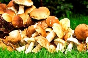 Sadba lesních hub - 2 balení mixu osmi druhů lesních hub za jedinečnou cenu....