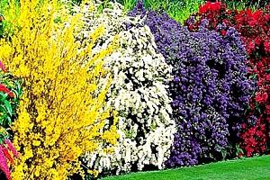 Úchvatný živý plot z nejkrásnějších okrasných keřů, hortenzií....