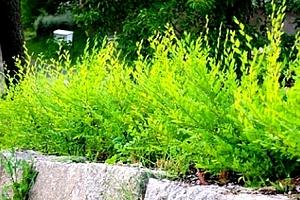 Hustý živý plot za jediný rok. Jilm Sibiřský - rychle rostoucí živý plot, nenáročný na pěstování....