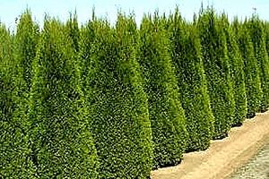 10 ks túje Smaragd na výběr také varianta se speciálním hnojivem pro rychlejší růst....
