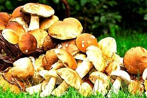 Vysaďte si na zahrádce své vlastní houby! 2 sady hub za jedinečnou cenu. Jednoduchá výsadba....