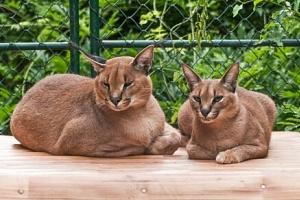 Jedinečný zážitek: Seznamte se s kočkovitými šelmami, zúčastněte se jejich krmení a komentované…...